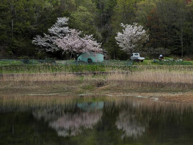 春雨上がり 名残りの桜