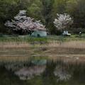 Photos: 春雨上がり 名残りの桜