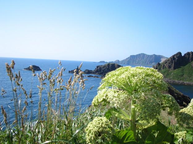 エゾノシシウド 澄海岬
