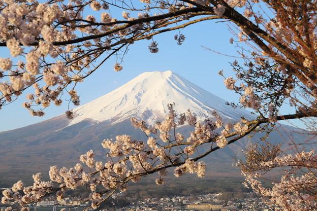 写真: 新倉山浅間公園の桜と富士2