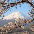 新倉山浅間公園の桜と富士2