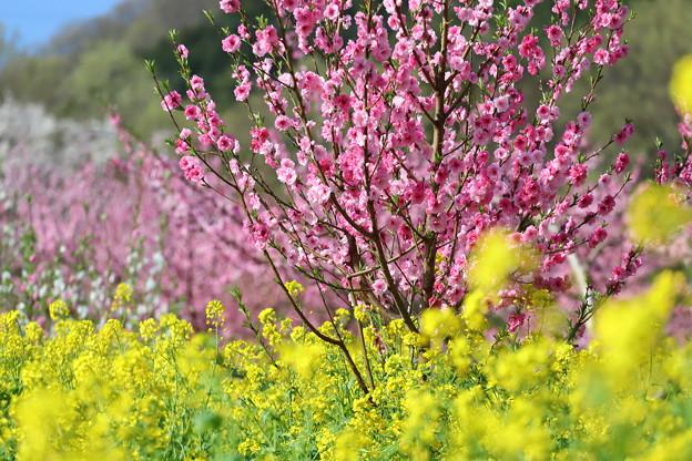 桃と菜の花1