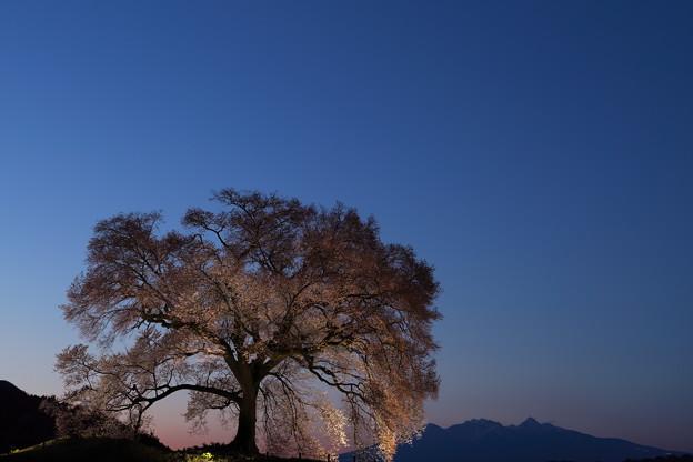わに塚の桜、ライトアップ2