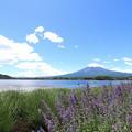Photos: 富士とキャットミント