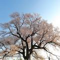 わに塚の桜4/8 その3