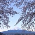 桜咲く河口湖3