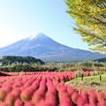 Photos: コキアと富士