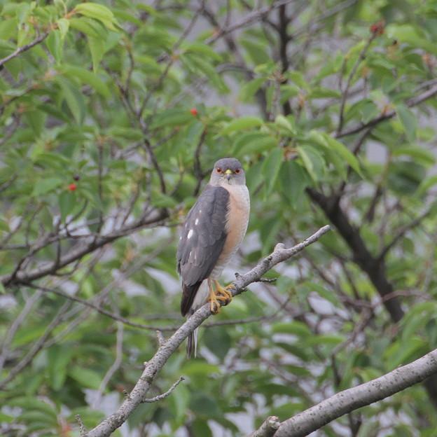 腹減りツミ、団地の小鳥を物色中