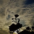 写真: 種松のバレリーナ。
