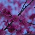 Photos: 「梅日和」