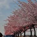 「河津桜とMaldivian blue」