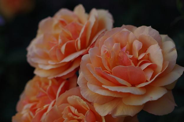 「send more Roses」