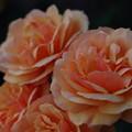 Photos: 「send more Roses」