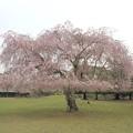奈良*東大寺境内の桜