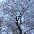 2018*東京ミッドタウンの桜4