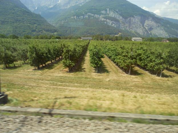スイスの鉄道の車窓から~ぶどう畑