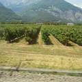 写真: スイスの鉄道の車窓から~ぶどう畑