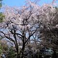 2019*東京国立博物館の桜1
