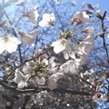 2019*東京国立博物館の桜6