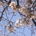 2019・上野公園の桜