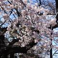 Photos: 2019*上野公園の桜1