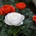 Photos: 白と赤