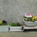 鉢に植えてる花