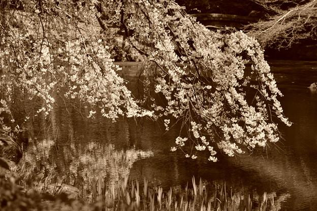 近衛池と糸桜