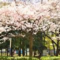 長居公園の桜