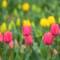 チューリップの花園