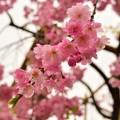 八重紅しだれ桜