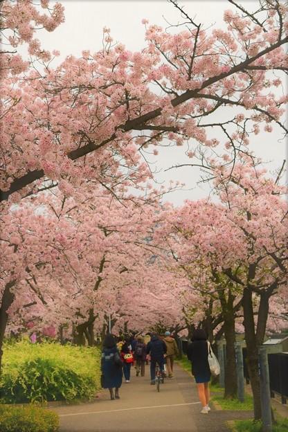 川沿いに咲く染井吉野