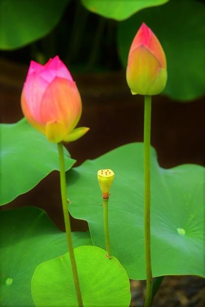 咲く日を待つ蕾