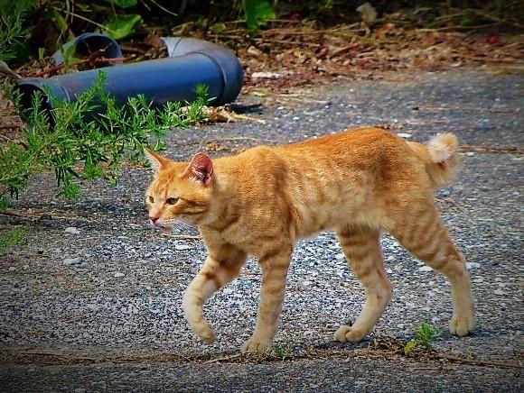 鳴き声の可愛いネコ