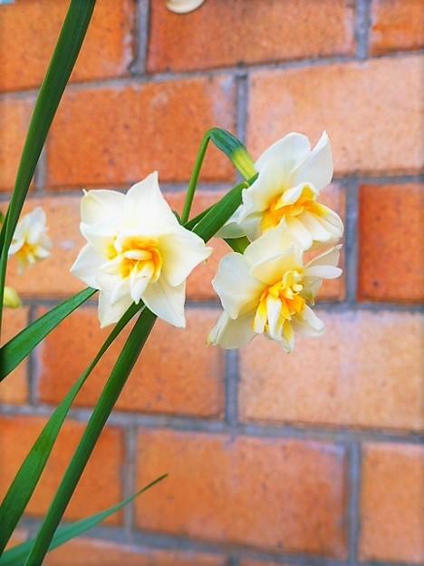 Photos: ニホンスイセンの八重咲き