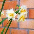写真: ニホンスイセンの八重咲き