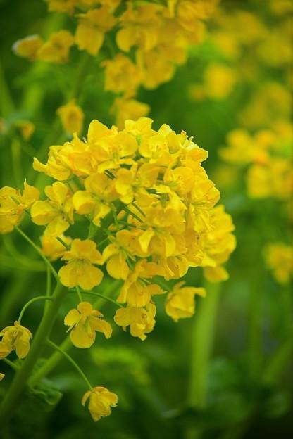 早咲きの菜の花  カンザキハナナ