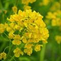写真: 早咲きの菜の花  カンザキハナナ