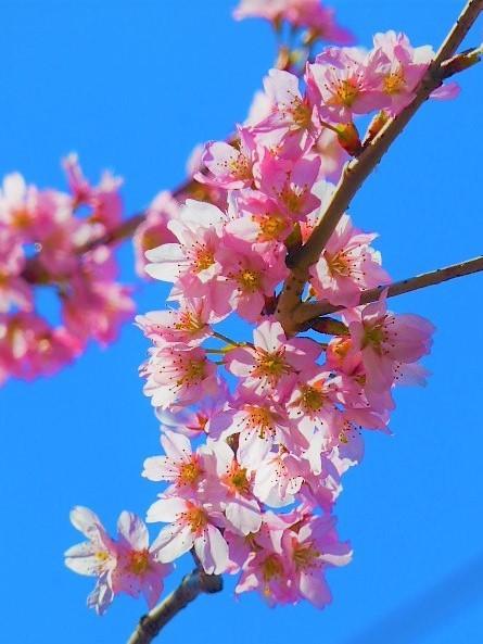 写真: 早咲き桜