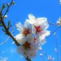 写真: 青空とアーモンドの花