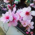 白やピンクの花をつけるアーモンドの花