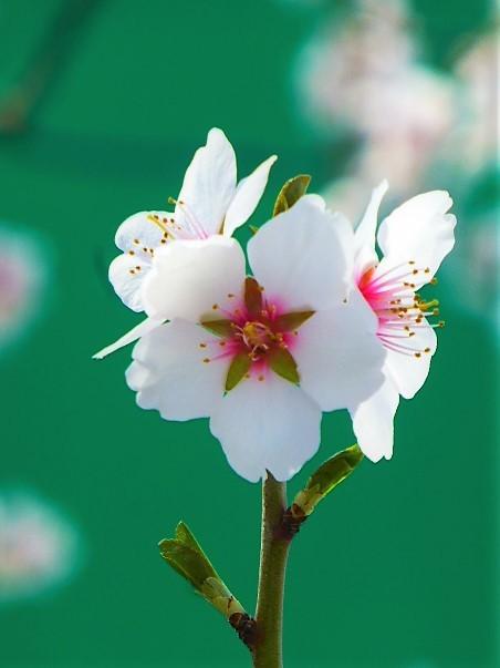 綺麗な花びらのアーモンド