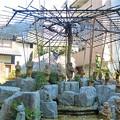 六角堂の御幸桜と十六羅漢