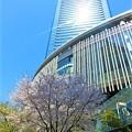 グランフロント大阪と桜