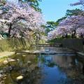 Photos: 夙川の桜