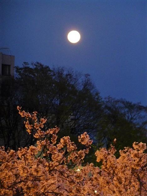 Photos: 満月と毛馬桜之宮公園の桜