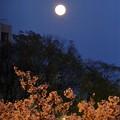 満月と毛馬桜之宮公園の桜