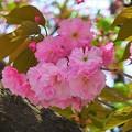 写真: 満開の八重桜