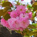 満開の八重桜