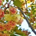 Photos: 園里黄桜